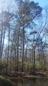 Tall Tree by the Pond at Mary Ann Brown Preserve