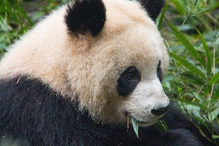 #P-Day: Panda-Bären