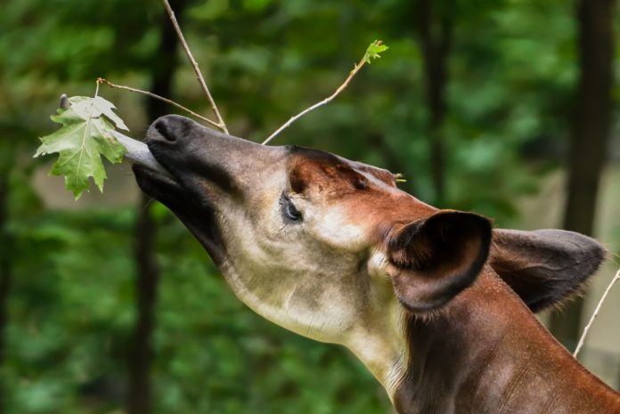 #Waldgiraffen,Okapi ,Berlin,Tiere,#ZooBerlin,Kongo