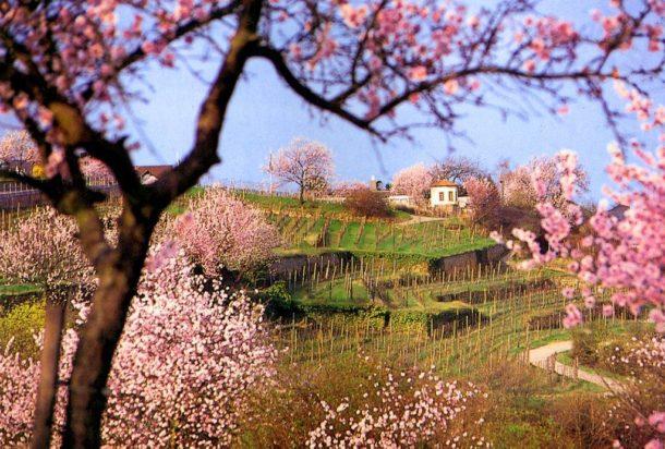 Gimmeldingen,Mandelblütenfest,Reisen