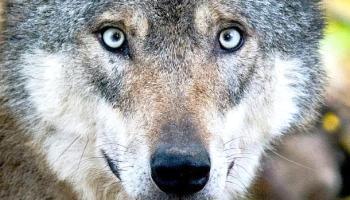 Jagdverband,Deutschland,Wölfe