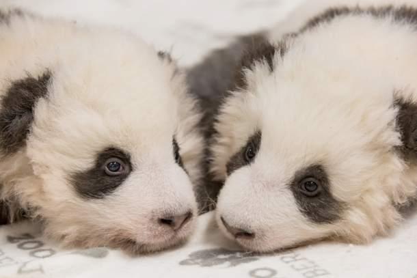 Panda Mit Schluckauf Im Zoo Berlin Presse Online Aktuelle