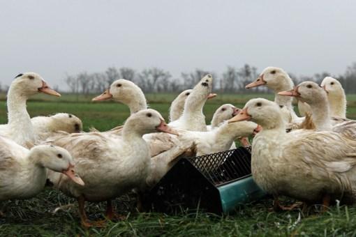 Smagen af dyrevelfærd