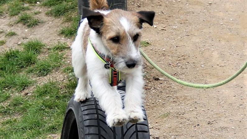 terrier løber på bildæk