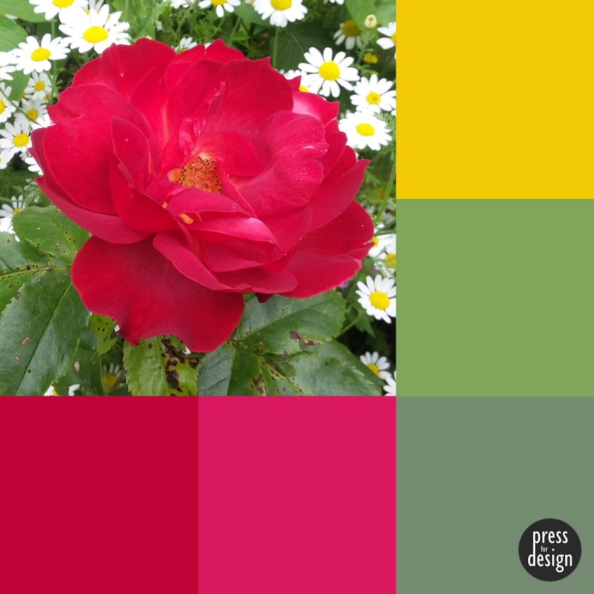 Tuesday Colour Inspiration: Rose Amongst the Marguerites