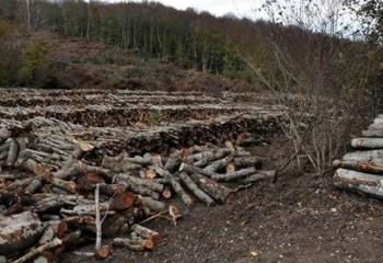 Termik santral için 43 bin ağaç daha kesilecek!