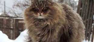 15 fotoğrafla dünyanın en pofuduk kedileri