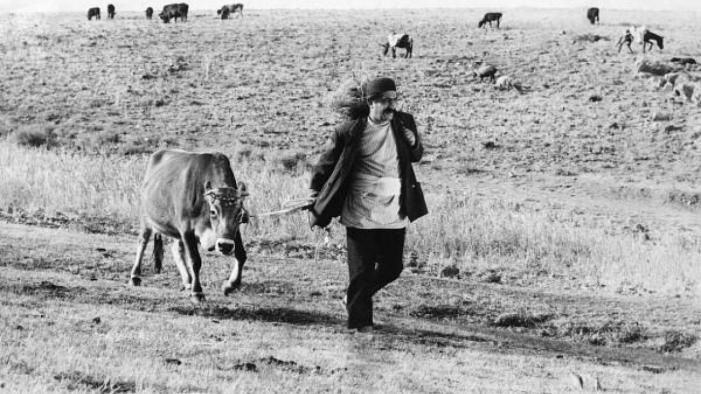 the cow film