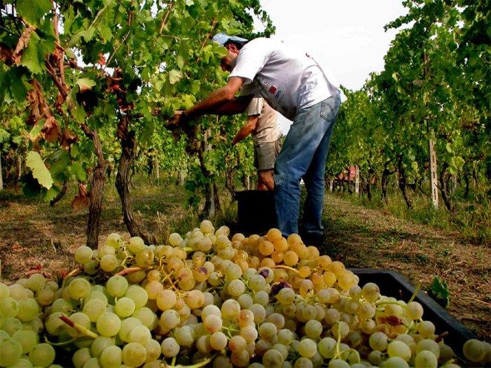 """""""Cantine aperte in vendemmia"""", la nuova iniziativa di Movimento Turismo del Vino"""