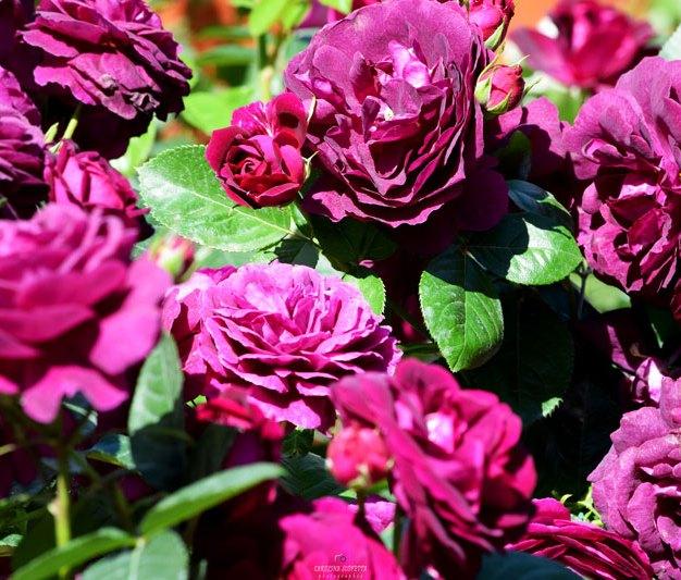 Firenze-Flower-Show-2