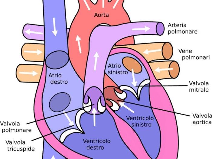 Favorevoli i risultati a 4 anni sull'impiego delle valvole aortiche realizzate in tessuto resilia