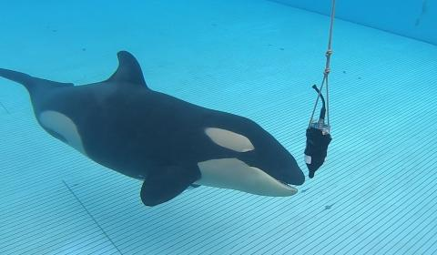 Loro Parque contributes to research on the echolocation of orcas 1