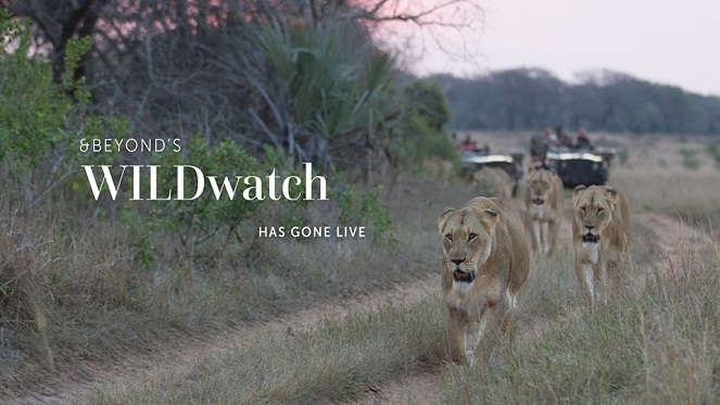 andbeyond travel lionesses walking along a gravel road