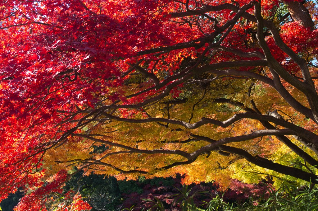 """Japanese Maple"" by ozma. CC BY"