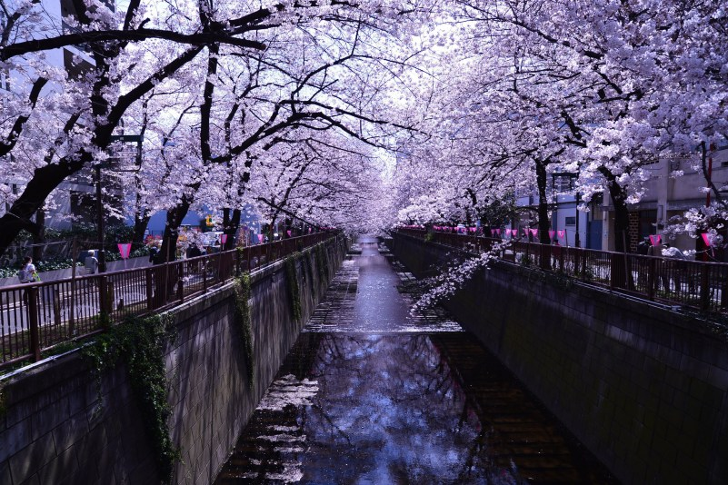 Cherry Blossoms on the Meguro River, Eiji Ienaga