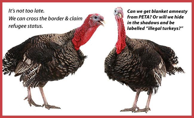Turkeys waiting for death in America