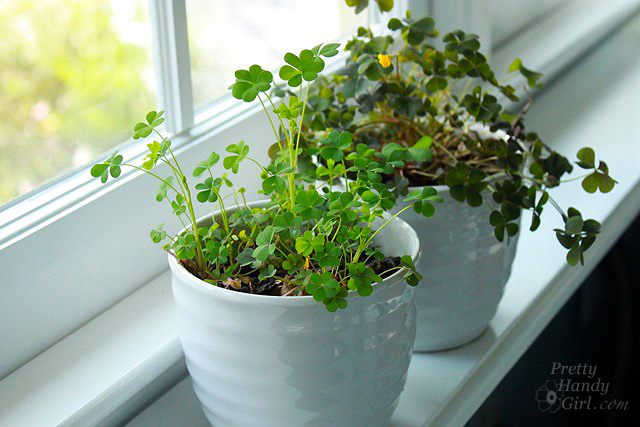 planted_potted_clover