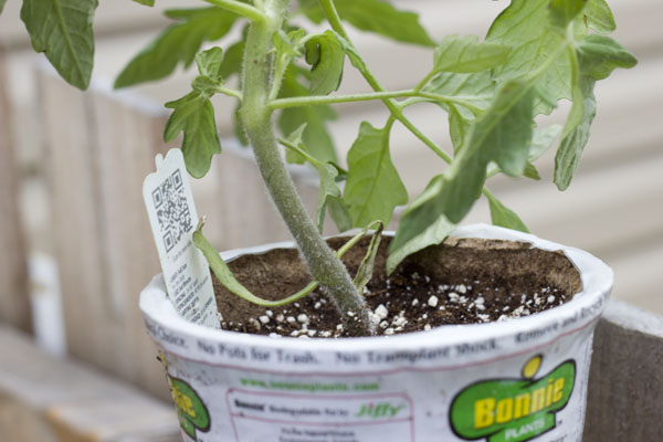 How to grow Happy Tomatoes
