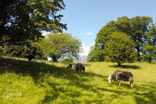 sheep_grazing