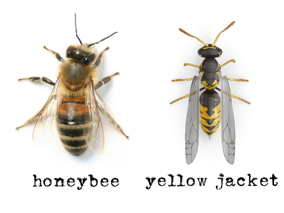 Images of yellow jackets and honey bees