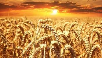 Obiloviny pšeničné pole