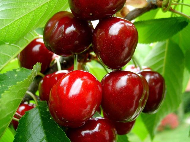 сбор ягод и вишни на Голанских Высотах
