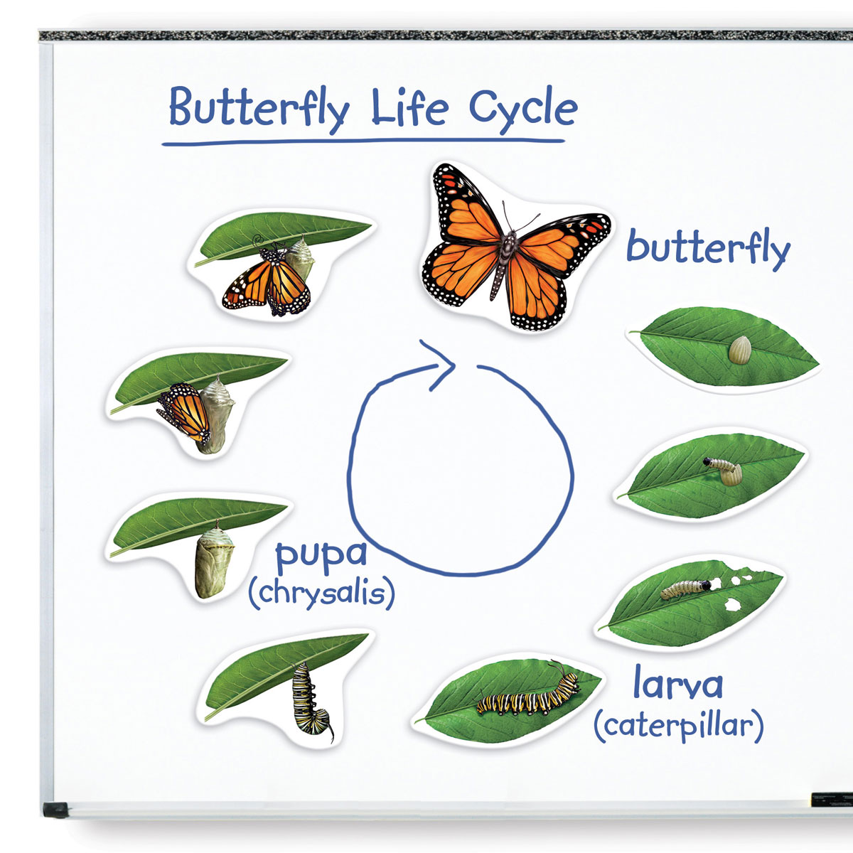 Giant Magnetic Butterfly Life Cycle Demonstration Set
