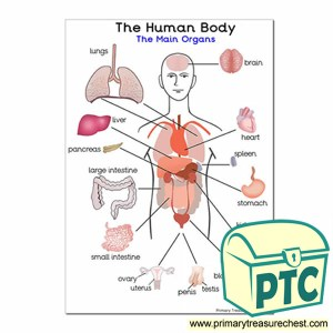 'The Main Organs of the Human Body' A4 Poster  Primary
