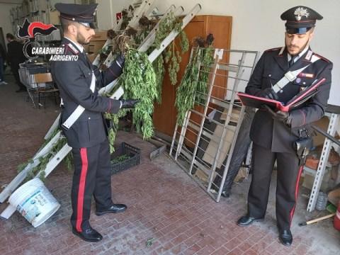 Cronaca Agrigento - Piantagione di marijuana nell'Agrigentino arrestato