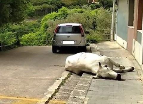 mucca abbattuta a Ragusa