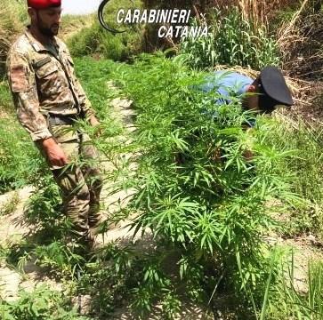 Carabinieri scovano coltivazione canapa indiano: arrestato calatino 39enne, ritenuto responsabile di coltivazione illecita di sostanze stupefacenti.