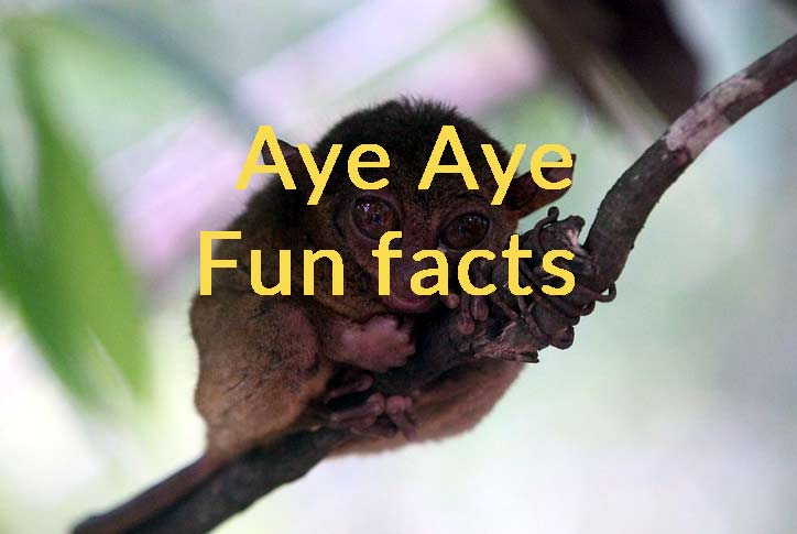 aye aye fun facts