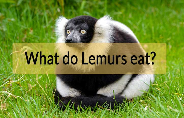what-do-lemurs-eat