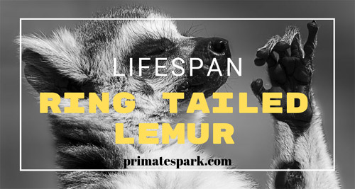 ring-tailed-lemur-lifespan