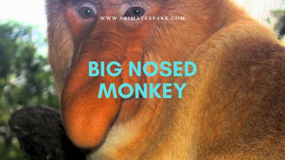 big nosed monkey