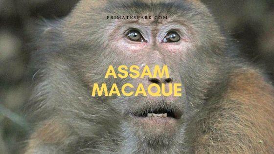 Assam macaque