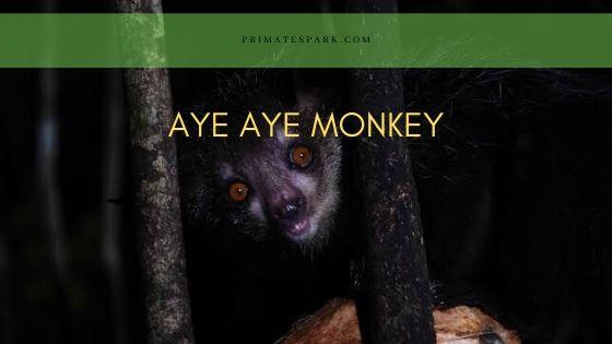 Aye aye Monkey