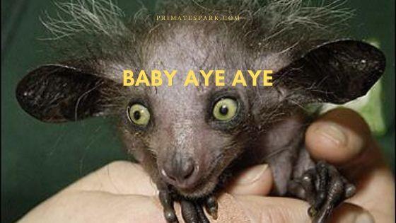 baby-aye-aye