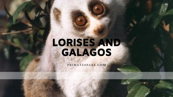 lorises and galagos