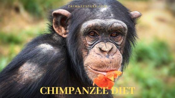 chimpanzee diet