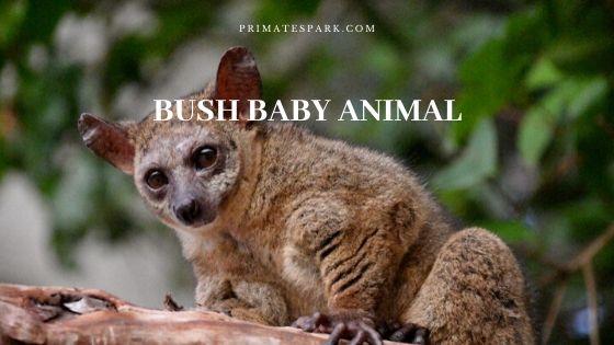 bush baby animal