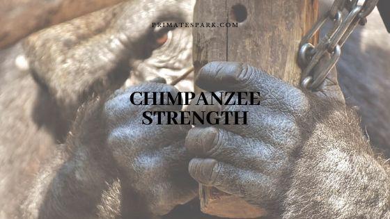 chimpanzee strength