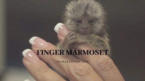 finger marmoset