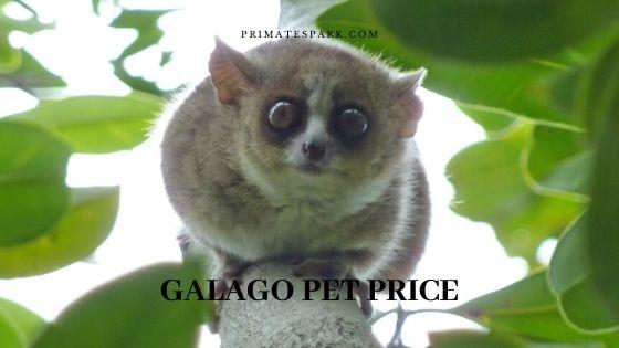 galago pet price