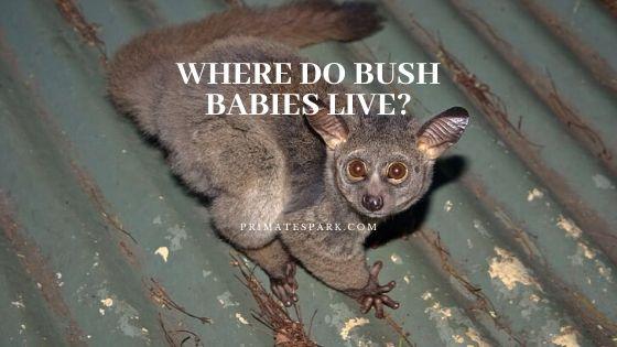 where do bush babies live