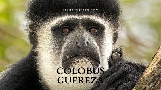 colobus mantled guereza