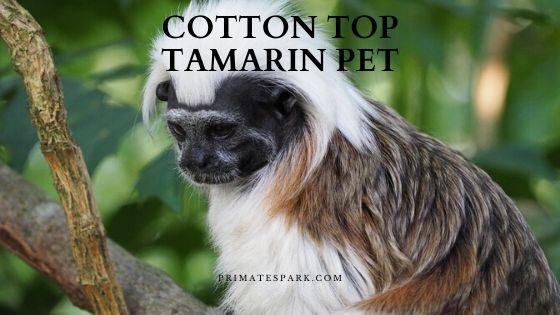 cotton top Tamarin pet