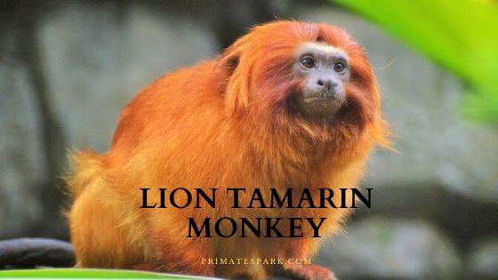 lion tamarin monkey