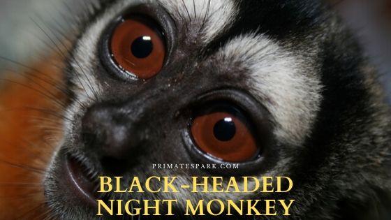 Black-headed night monkey