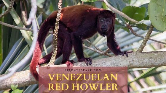 Venezuelan red howler